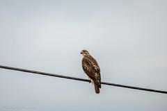 _DSC4976-2 (alan.forshee) Tags: bald eagle red tailed hawk raptor bird prey predator hunt fish fly soar flight feather sky