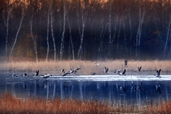 under the radar (Christian Collins) Tags: freeunlimited geese goose water pond reeds sunrise flying canon t2i ef70200mm midland mi michigan woods bosque amanecer birches bokeh
