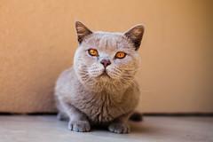 Hunter (www.sergeybidun.com) Tags: cat eyes kitten animal hunter power gray cute little