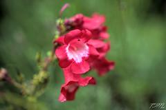 Red Bells (fs999) Tags: 100iso fs999 fschneider aficionados zinzins pentaxist pentaxian pentax k1 pentaxk1 fullframe justpentax flickrlovers ashotadayorso topqualityimage topqualityimageonly artcafe pentaxart corel paintshop paintshoppro x9ultimate paintshopprox9ultimate masterphotos fleur flower blume bloem macrolife macro makro sigmaart1835mmf18dchsm sigma sigma1835 hsm 1835 f18