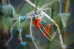 Fading Beauty (hub en gerie) Tags: flower indiancress nature bloem oostindischekers fading verwelken natuur garden tuin platinumheartaward allnaturesparadise