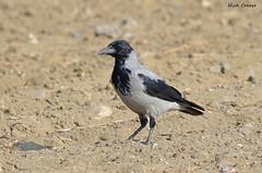 Hooded crow (NickNineFingers) Tags: bird black beach grey feathers fall 2016 canon cyprus crow carrion hooded autumn larnaca