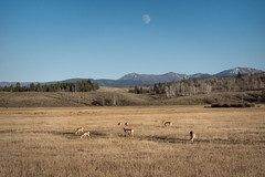 Antelope Under the Moon (Elain) Tags: tetons moon antelope