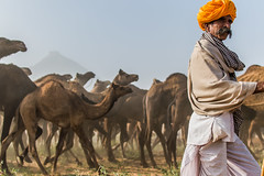 Herder-3  | Pushkar camel fair,Rajasthan. (vjisin) Tags: pushkar rajasthan india iamnikon nikond3200 asia camel streetphotography street indianstreetphotography incredibleindia indianheritage travelphotography pushkarcamelfair herder inexplore outdoor sport animal travel 35mm nikon nikonofficial sunlight man