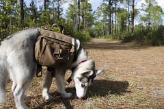 Nikolai (Cory M Heck) Tags: dog husky puppy