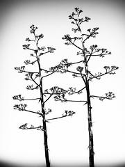 fall silhouette (rick miller foto) Tags: texas 2016 japanese tea garden silhouette black white bw mono trees stark contrast