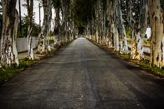 The Eucalyptus Street (rodiann) Tags: rhodes rodi rhodos greece grecia grece street trees green outdoor leading dof