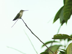 Ruby-throated Hummingbird 2-20161205 (Kenneth Cole Schneider) Tags: florida miramar westbrowardwca