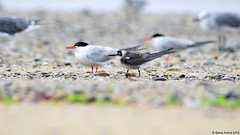 Juvenile Black Tern (Chlidonias niger) coming in off the water to rest (Steve Arena) Tags: nikon provincetown massachusetts d750 juvenile tern 2015 racepoint blacktern chlidoniasniger racepointbeach marshtern barnstablecounty blte racepointbeachnorth