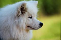 NOVA (SergeK ) Tags: world chien white bread russia bokeh samoyed siberia blanc oldest sergek tribeofsamoyeds