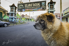Welcome to Bromo (brusca) Tags: road dog mountain cold indonesia bromo datang mtbromo eastjava
