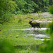 Sambar male, Rusa unicolor crossing a river in Huai Kha Khaeng