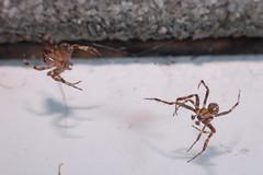 Let's Make Whoopee (Procrustes2007) Tags: uk england spider suffolk britain wildlife arachnid flash nikond50 sudbury araneusdiadematus closeuplens wildlifephotography commoncrossspider d50nocturnalmacro afsnikkor1855eddx gridreftl883407