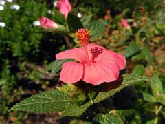 Pavonia schrankii Spreng. 1826 (MALVACEAE) (helicongus) Tags: spain malvaceae pavonia jardnbotnicodeiturraran pavoniascharnkii