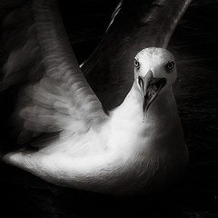 Natural Outrage (JorgeSchramm) Tags: sea blackandwhite seagulls bird water birds seagull gulls