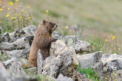(borazslo) Tags: mountain mountains colorado rockymountains marmot 14er 14ers marmots mountelbert colorado14ers mtelbert