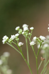 Parthernium weed (icipe.media) Tags: torto baldwyn icipe drsegenetkelemu drchristopherprideaux