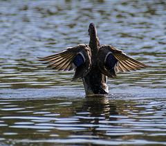 17 September 2015 (runningman1958) Tags: bird nature duck wings nikon 365 avian mallardduck 365dayproject d3100 nikond3100 d3100nikon