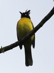 Black-crested Bulbul- (Wild Chroma) Tags: birds thailand bulbul doiinthanon passerines flaviventris pycnonotus pycnonotusmelanicterus melanicterus pycnonotusmelanicterusflaviventris