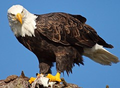 Bald Eagle Female (jerrygabby1) Tags:
