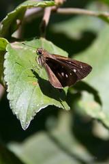 Hesperiidae_NI (Fatima Sandrin) Tags: brazil © brasil canon butterfly lepidoptera borboleta animalia arthropoda bauru insecta hesperiidae pyrginae fátimasandrin