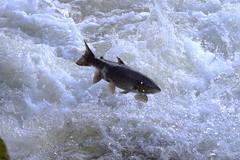Low jump (Sundornvic) Tags: fish nature river jump salmon severn shrewsbury leap weir castlefields
