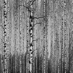 birch grove (TeRo.A) Tags: forest koivu grove birch metsä