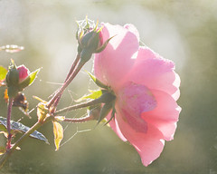 October rose to my friends. (BirgittaSjostedt) Tags: lighting autumn light plant flower texture beauty rose closeup last garden dawn drops october outdoor narure coth alittlebeauty coth5