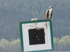 Osprey on the sign (jamica1) Tags: canada bc arm salmon columbia british osprey shuswap