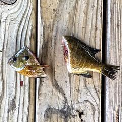 Cut Bait (ricko) Tags: fish fishing dock bluegill beheaded cutbait catfishbait mdpd2015 mdpd1510