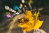 Autumn Leaf #290/365 [Explored] (A. Aleksandravičius) Tags: street autumn light colors oneaday lensbaby 35mm evening leaf nikon soft day hand sweet bokeh explore photoaday pro 365 35 lithuania composer pictureaday kaunas optic lietuva 2015 project365 365days explored dayphoto daypicture d700 290365 nikond700 365one sweet35optic lensbaby35 3652015