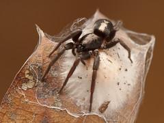 Parson Spider (Sean McCann (ibycter.com)) Tags: spider arachnida herpyllusecclesiasticus gnaphosidae