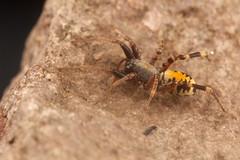 Castianeira dorsata (Sean McCann (ibycter.com)) Tags: arizona spider corinnidae castianeira arachtober