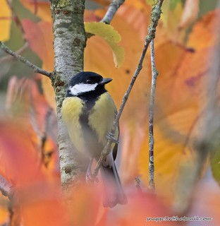 Great Tit in Autumn !
