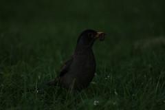 Pajarito cazando (juseff) Tags: pajaro gusano comiendo udec cazando