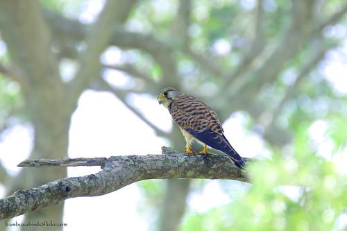 เหยี่ยวเคสเตรล / Eurasian Kestral / Falco tinnunculus (female)