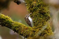 Baumläufer 1 (rgr_944) Tags: bird animals tiere outdoor natur animaux vögel oiseau vogel canoneos60dcanoneos70d rgr944