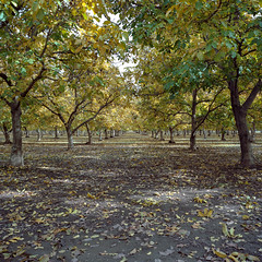 walnut orchard. biggs, ca. 2015. (eyetwist) Tags: california autumn trees west tree green fall 120 6x6 mamiya film colors leaves yellow analog rural mediumformat square point 50mm vanishingpoint butte kodak farm patterns branches farming walnut nuts orchard ishootfilm boring rows american sutter norcal analogue agriculture mamiya6 canopy vanishing portra biggs banal ordinary emulsion repeating 160 eggleston sacramentovalley yuba buttecounty primes eyetwist kodakportra160 6mf mamiya6mf ishootkodak epsonv750pro filmexif filmtagger eyetwistkevinballuff mamiya50mmf4l iconla