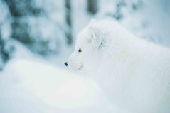 Arctic Fox - Ranua Zoo
