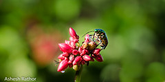 Its a bug's world - Jewel Bug (asheshr) Tags: macro bug insect dof bokeh outdoor depthoffield jewelbug beautifulmacro beautifulinsect beautifulbokeh bugsworld jewelbugcloseup