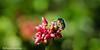 Its a bug's world - Jewel Bug (asheshr) Tags: macro bug insect dof bokeh outdoor depthoffield jewelbug beautifulmacro beautifulinsect beautifulbokeh bugsworld jewelbugcloseup