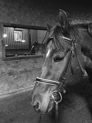 Double header (annemconnor@yahoo.com) Tags: two horses horse pet window barn farm arena aisle inside livestock farmanimal attentive equine tack bridle doubleheader