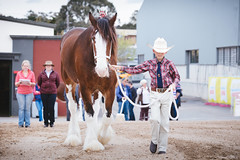 Royal Melbourne Show 2016 (tyroga) Tags: clydesdale horse juniors leading royalmelbourneshow