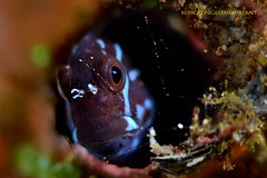 Doubtful ? (kayak_no1) Tags: nikon d800e nauticamhousing 105mmvr diopter ysd1 subsee10 underwater underwaterphotography macro supermacro diving scubadiving uw lembehstrait indonesia portrait blenny