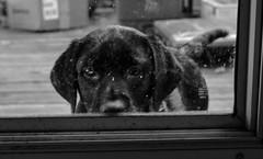 miles_9-28-16a (bmullaney1) Tags: black labrador dog retriever lab