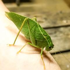 Katydid (JackofHeartsodb) Tags: shotoniphone6s shotwithiphone6s katydid insect