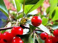 imperfect (Lovely Pom) Tags: red ripe fall harvest autumn shape round berries plant food
