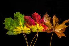 Autumn leaves in a row (Anders Bromell) Tags: fs161016 rad fotosondag höstlöv
