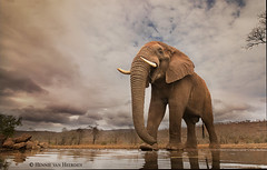A visitor at Umgodi (hvhe1) Tags: wildlife nature wild animal mammal elephant loxodontaafricana elefant lphantdesavanedafrique southafrica africa zimanga privategamereserve safari overnighthide umgodi waterhole hvhe1 hennievanheerden specanimal