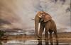 A visitor at Umgodi (hvhe1) Tags: wildlife nature wild animal mammal elephant loxodontaafricana elefant éléphantdesavanedafrique southafrica africa zimanga privategamereserve safari overnighthide umgodi waterhole hvhe1 hennievanheerden specanimal